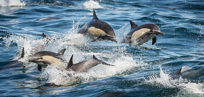 Leaping dolphins at LA Whale Watching